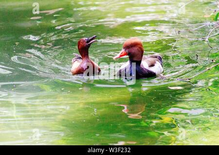 A closeup shot of two ducks swimming together in water - Stock Photo