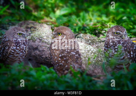 A family of very alert burrowing owls on a summer day in the Florida Everglades. The tiny and cute burrowing owl favors grasslands and wide spaces. - Stock Photo