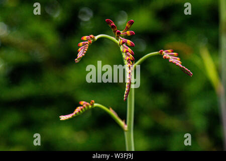 The flowers buds of a montbretia 'Lucifer' (Crocosmia 'Lucifer') - Stock Photo