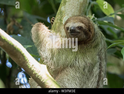 Brown-Throated Three Toed Sloth