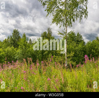 Summer landscape cloudy sky and blooming Ivan-tea in the Leningrad region. - Stock Photo