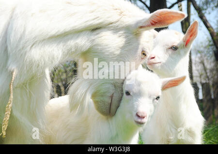 Clouseup of three white goats standing among green grass on a warm spring day. Family of a mother and her two children resting and spending time toget - Stock Photo