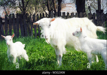 Three white goats standing among green grass on a warm spring day. Family of a mother and her two children resting and spending time together, sibling - Stock Photo