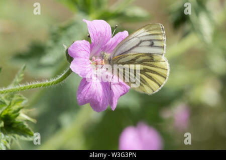 Green-veined White, Pieris napi, butterfly, feeding on geranium cranesbill,  wings closed, side, Sussex, June - Stock Photo