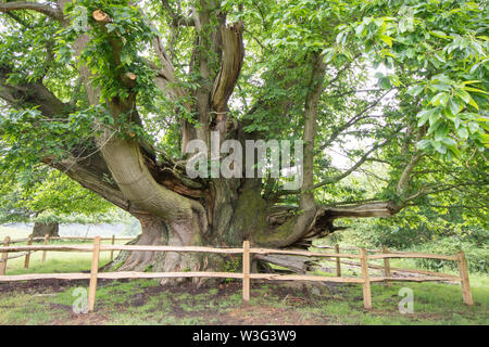 Cowdray Colossus, Sweet Chestnut tree, Castanea sativa, Sussex, June - Stock Photo