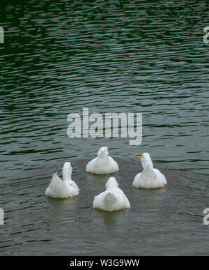 Group of large white broiler, pekin, peking, aylesbury, american ducks on a lake in a row, close up water level view, showing white feathers and yello - Stock Photo