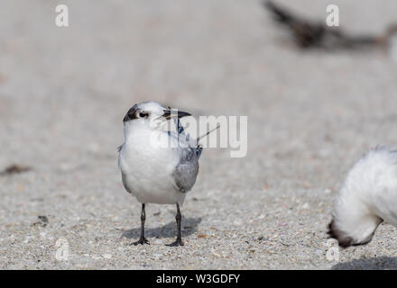 Royal tern  sits on the beach - close up - Stock Photo