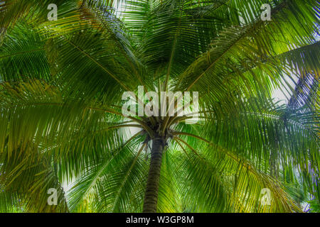 This unique photo shows a coconut palm photographed from the bottom up. This picture was taken in the Maldives - Stock Photo