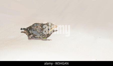 close up of a baby humming bird sitting on white sheet,white background. - Stock Photo