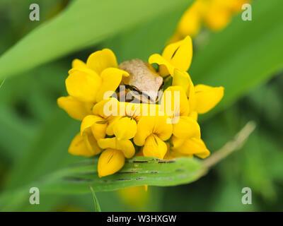 Tiny Pacific tree frog (Pseudacris regilla) sitting in a flower - Stock Photo