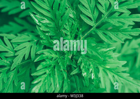 Close up ragweed on a garden. Macro view. - Stock Photo