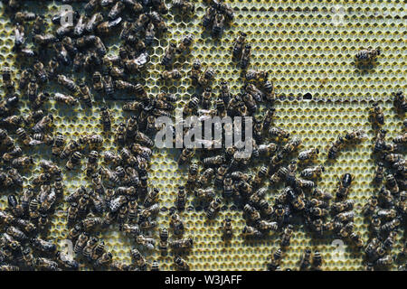 Close up view of the working bees on honey cells in the apiary - Stock Photo