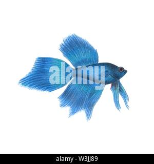 Blue betta fish illustration realistic drawing by colored pencils siamese fighting fish zoological illustration isolated on white background - Stock Photo