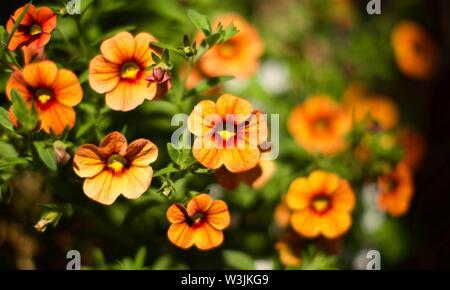 Calibrachoa Callie - Apricot Million Bells - Stock Photo