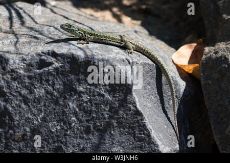 A green reticulated common wall lizard on a dark stone  in the sunshine. Frankfurt am Main. - Stock Photo