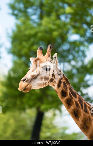 Maasai giraffe (Giraffa camelopardalis tippelskirchii) Chester England UK. May 2019 - Stock Photo
