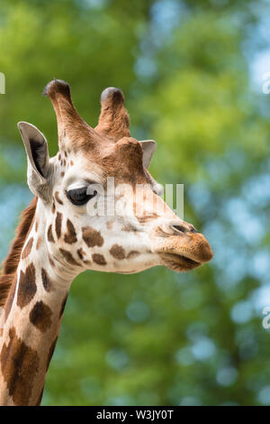 Maasai giraffe (Giraffa camelopardalis tippelskirchii) Chester England UK. May 2019 - Stock Photo