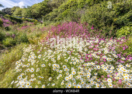 The beautiful rugged south coast of Guernsey - Wild flowers beside the coastal footpath round Moulin Huet Bay, Guernsey, Channel Islands UK