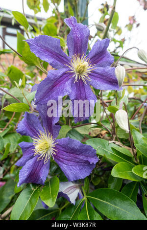 Close up view of purple clematis flowers. - Stock Photo