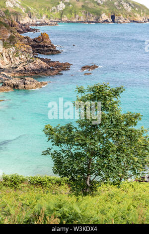 Looking down from the coastal path onto a tree on the cliffs above Petit Bot Bay on the beautiful rugged south coast of Guernsey, Channel Islands UK - Stock Photo