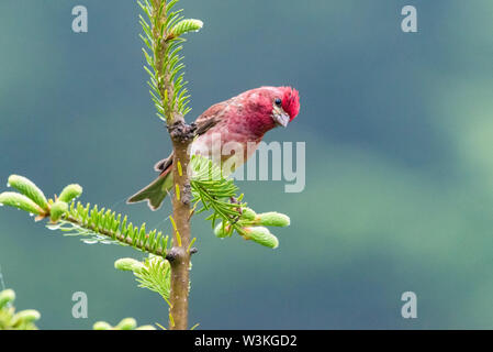 purple finch, Carpodacus purpureus, male, perched on evergreen spruce branch, Nova Scotia, Canada