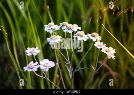 Inflorescence of a large number of white flowers. Flowers grow against the background of green grass that grows in a forest glade. - Stock Photo