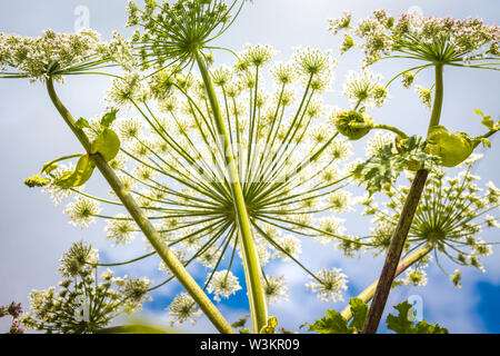Inflorescence of a large number of white flowers. Flowers grow against a blue and clear sky. - Stock Photo