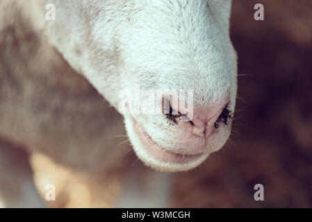 Ile de France sheep nose close up in pen on livestock farm, domestic animals husbandry concept Stock Photo