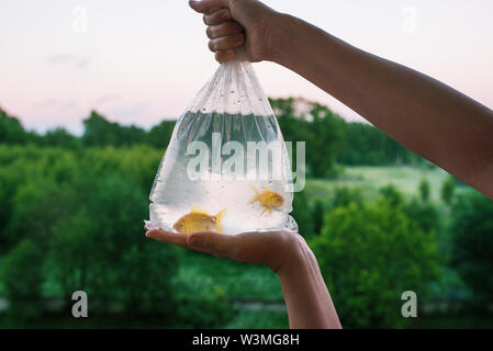 Transparent package with purchased aquarium fish. Hands holding a bag of gold fish. Two goldfish in plastic packaging. Evening time of day. In the - Stock Photo