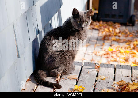 A soot colored grey cat sits on the porch in the autumn leaves and sun - Stock Photo
