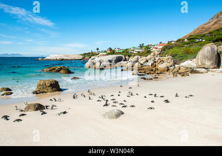 Big boulder rocks and African or Jackass Penguins (Spheniscus Demersus) on Boulder Beach near Cape town, South Africa. - Stock Photo