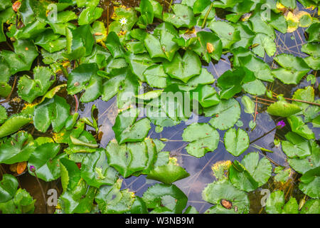 This unique picture shows a large purple flowering water lily. This award-winning picture was taken in the Maldives - Stock Photo