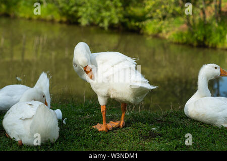 White domestic goose stands on green grass by the pond and preens its feathers. Other geese rest on the grass. Farm scene - Stock Photo