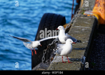 3 gulls are on the edge of wharf, one is just coming in to land. - Stock Photo