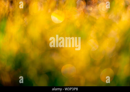 Blurred golden and green grass field in the morning with sunlight. Yellow bokeh background of sunshine in spring. Nature background. Clean environment - Stock Photo