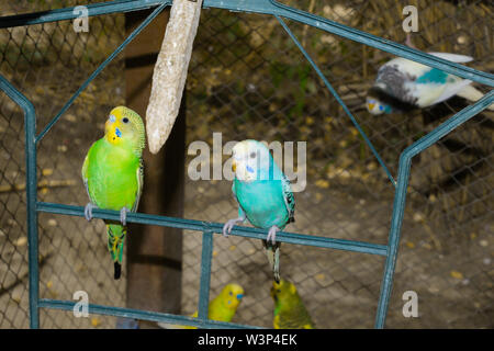 close up of colorful budgrigars in a cage,beautiful parrots in a cage. - Stock Photo