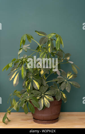 indoor plant in the interior - Schefflera on a wooden tabletop against a green wall - Stock Photo