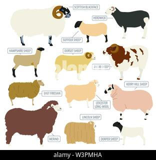 Sheep breed icon set. Farm animal. Flat design. Vector illustration - Stock Photo