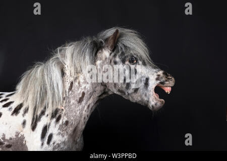 Miniature Appaloosa . Adult horse yawning. Studio picture against a black background. Germany - Stock Photo