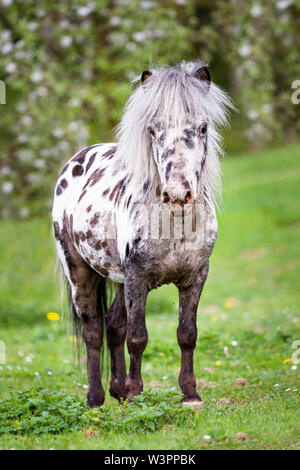 Miniature Appaloosa. Adult horse standing on a pasture. Germany - Stock Photo