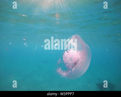 Red sea jellyfish close up and other inhabitants. Amelia aurita close up view