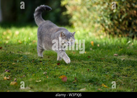 British Shorthair Cat. Lilac queen (4 years old) walking on a lawn. Germany - Stock Photo