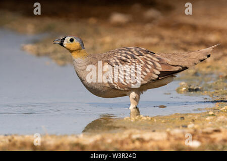 Crowned Sandgrouse (Pterocles coronatus) Near a water pool Photographed in the Negev Desert, israel in June - Stock Photo