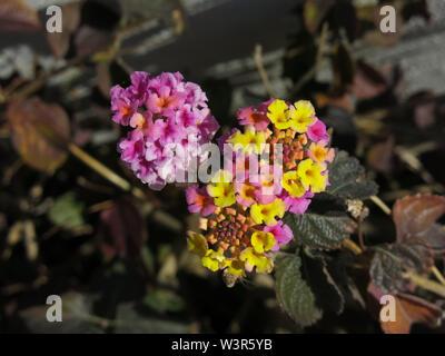 Lantana camara, flowers. - Stock Photo