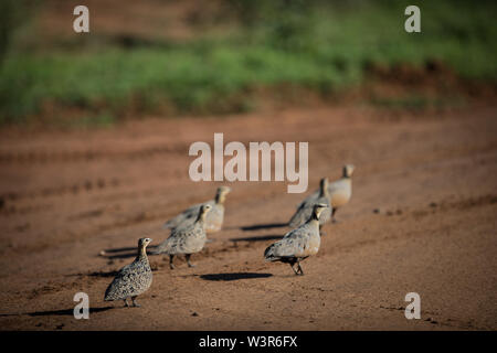 A small flock of Yellow-throated Sandgrouse, Pterocles gutturalis, gathers on road, Madikwe Game Reserve, North West Province, South Africa at sunset - Stock Photo