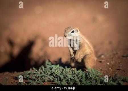 A Southern African Ground Squirrel, Xerus inauris, stays alert while looking for food in Madikwe Game Reserve, North West Province, South Africa.