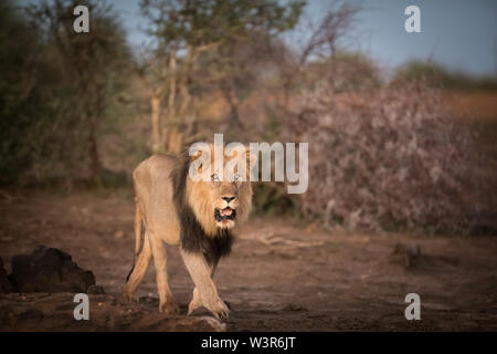 Lion, Panthera leo, are commonly seen on safari game drives in Madikwe Game Reserve, North West, South Africa. - Stock Photo