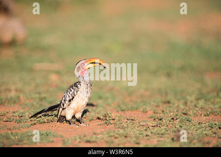 A southern yellow-billed hornbill, Tockus leucomelas, shows off bright colors in the afternoon light of Madikwe Game Reserve, North West, South Africa - Stock Photo