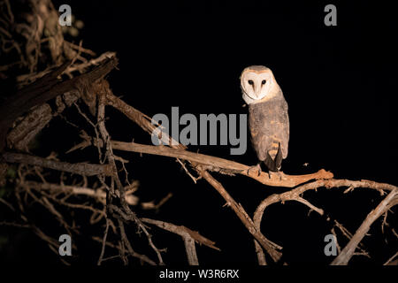A western barn owl, Tyto alba, is lit by a spotlight during a night drive sighting in Madikwe Game Reserve, North West, South Africa. - Stock Photo