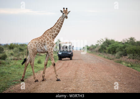 A southern giraffe, giraffa giraffa, crosses road in front of tourists on an open game drive vehicle in Madikwe Game Reserve, North West, South Africa - Stock Photo